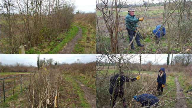 Hedge to be laid to promote regrowth and a thicker hedge for wildlife. Alan and Chris started laying down the pleachers (cut, but still live trees) halfway down from where Kestra, Steff and Michelle were working. The final result is a hedge laid to create a natural fence line and a wildlife habitat.
