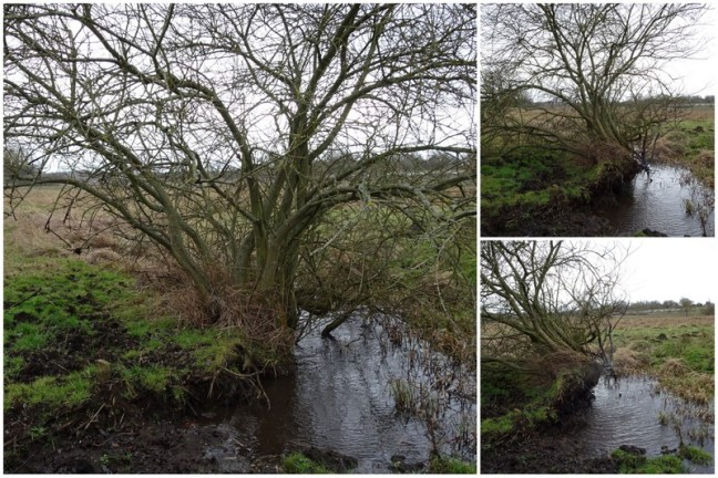 Tree being blown over by storm Doris that the Thursday group observed when they were out on Marston Marsh the previous day.