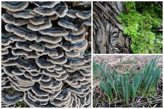 Some of the trees are supporting a micro habit containing a beautiful example of a Turkey tail fungi (Trametes versicolor) and some moss. Daffodils were also found at the centre of the big circle.