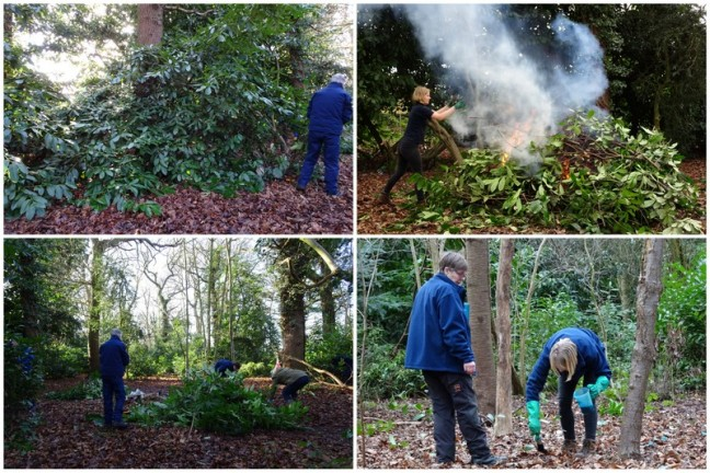 The cutting, burning and treating of the Rhododendron on site.