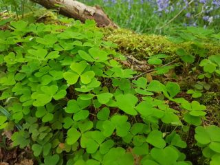 Wood Sorrel in coppiced woodland.