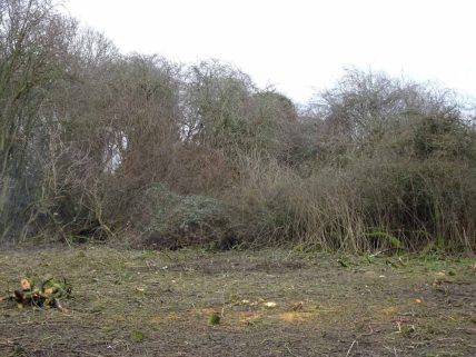 Blackthorn stand to be coppiced.