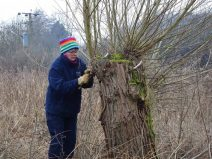 Coppicing the willow circle of trees found on site here.