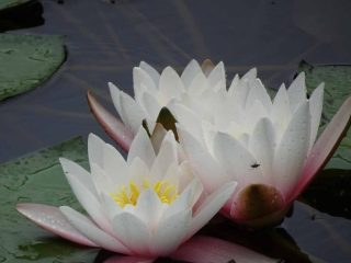 Flourishing white water lilies found in the restored pond.