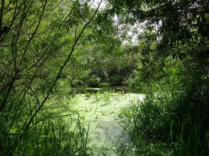 Pond shaded by trees and shrubs, water is green and full of leaf litter.
