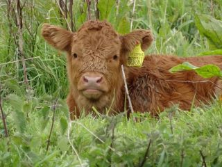 Grazing calf on Marston Marsh.