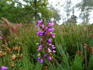 Bell Heather is our most familiar heather.