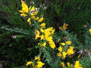 Gorse found on heathland habitats.