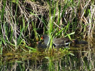 Moorhen and chicks hiding amongst the marginal plants found around the edge of a restored pond.