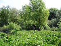 Surrounding willow trees that were pollarded.