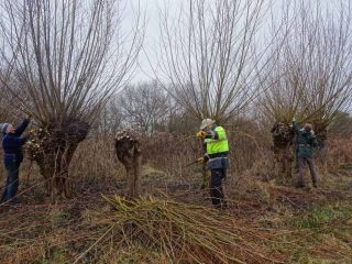 Coppicing the willow to create faggots for river bank restoration work.