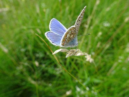 Male Silver studded blue butterfly.