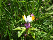 One of the many butterflies that can be sighted around this area.