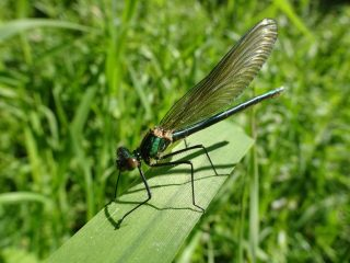One of the many variety of dragonflies and damselflies that you can find near the pond.