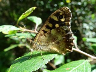 Speckled Wood butterfly in coppiced woodland.