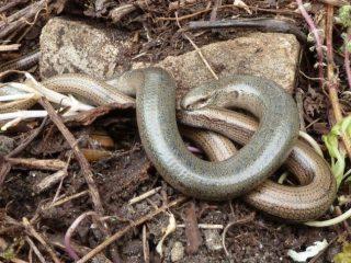 Slow worms found on heathland.