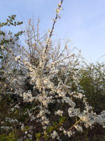 Flowering Blackthorn.